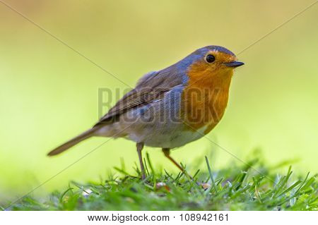 Robin On Vivid Yellow Background