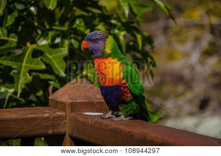 Rainbow Lorikeet on a fence