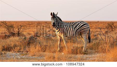 Lonely Zebra In African Savanna