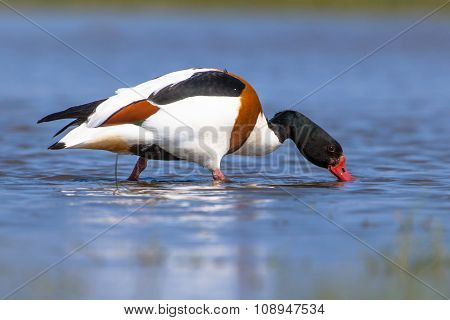 Common Shelduck Feeding In Shallow Water