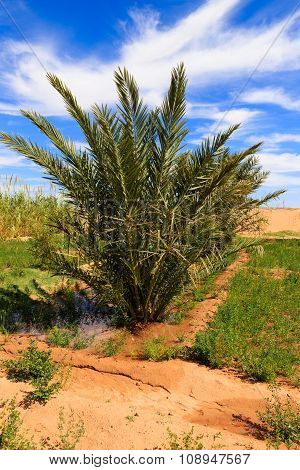 date palm in the oasis