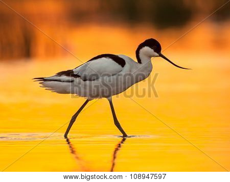 Pied Avocet With Orange Background