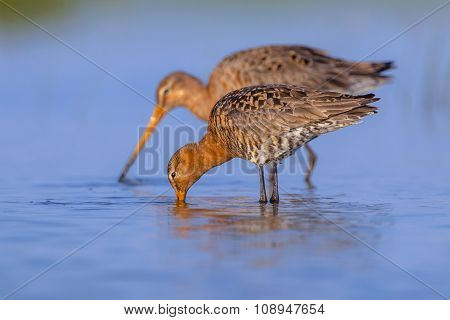 Couple Of Black Tailed Godwit