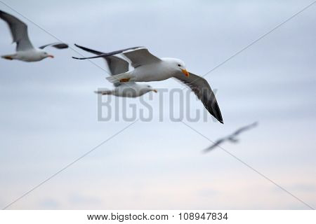 Northern Herring Gull Or Lesser Black-backed . Russian Arctic