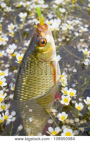 Summer Lake Fishing Rudd Fish