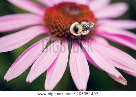 Bee on a Purple Conflower