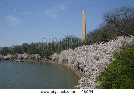 Washington Monument From Tidal Basin (with Blossoms)