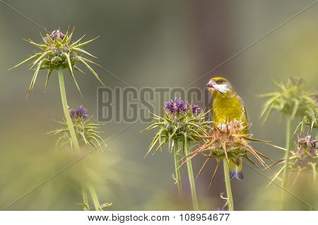 Greenfinch Eating The Seed Of Maria Thistle