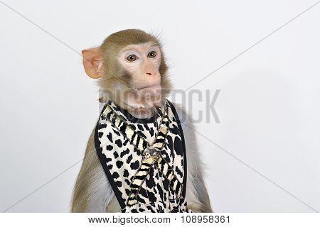 Dressed alive monkey on white background