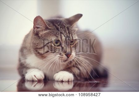 Angry Gray Striped Cat With Green Eyes.