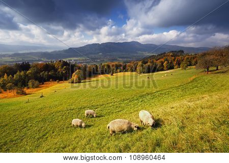 Sunny autumn alpine view with flock of sheeps