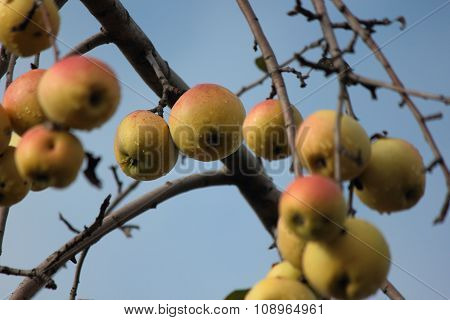 Group of yellow apples.