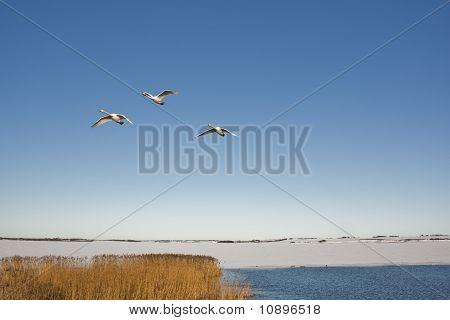 Três cisnes