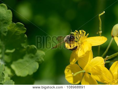 The Bee Is Drinking Nectar From The Greater Celandine Flowers.