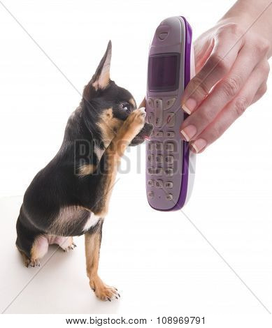 Chihuahua Dog Is Talking On The Phone White Isolated