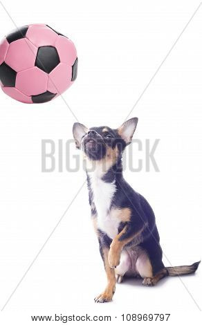 Dog chihuahua looks up at the ball