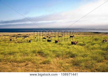 Cows Graze Fresh Grass On A Meadow In Andrew Molina State Park At The Pacific Ocean
