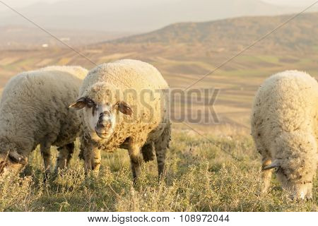 Group Of Sheep Grazing Grass On A Beautiful Field