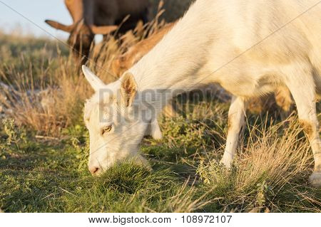 Goat Grazing In The Field With Others In Background