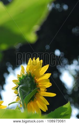 Sunflower Young Bud Blooming, Macro, Close Up