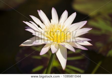 White Waterlilly Or Lotus
