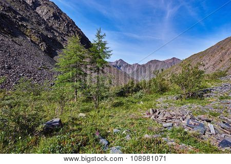 Two Young Larch (larix Sibirica) Mountains Of Eastern Siberia