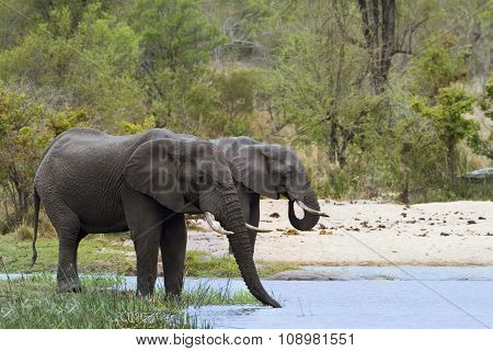 African Bush Elephants In Kruger National Park