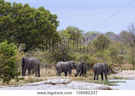 African Bush Elephants In Kruger National Park