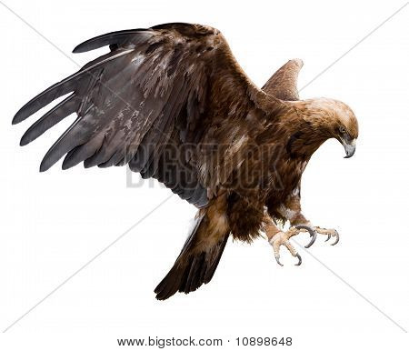 Golden Eagle, Isolated