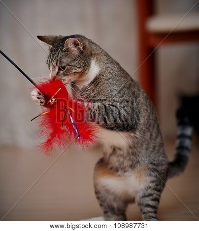 The Striped Domestic Cat Plays