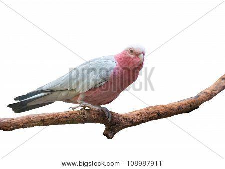 Galah Cockatoo Isolated