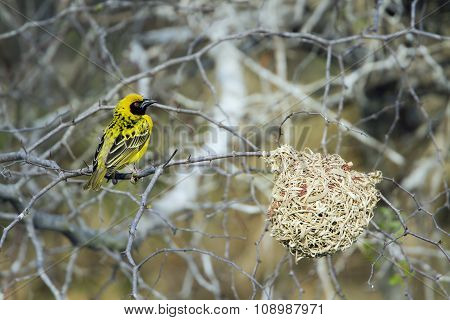 Village Weaver In Kruger National Park