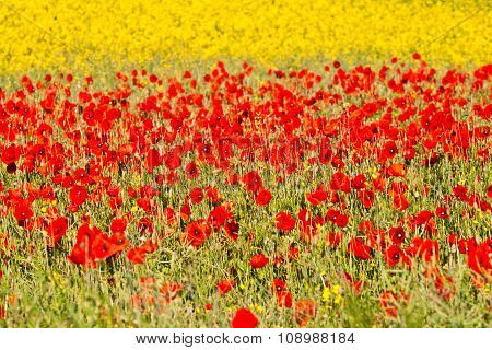 Blooming Poppy Flowers With Yellow Rape