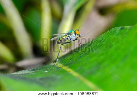 Long-legged Fly (Condylostylus sipho) On Leaf With Green Background