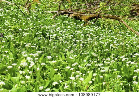 Sunny Spring Day Many Wild Garlic Flowers