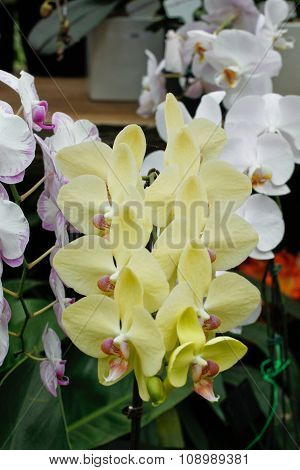 Colorful Phalaenopsis Orchid