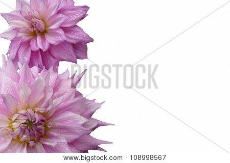 Dahia blossoms