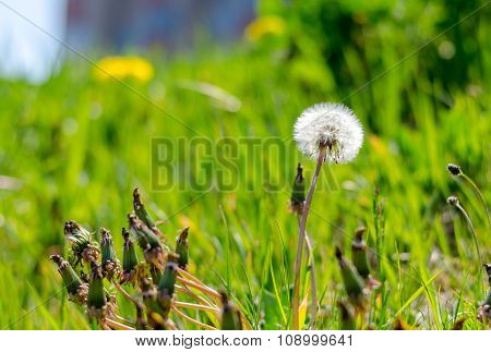 Close Up Of A Dandelion