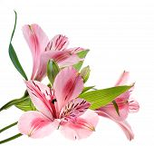picture of trumpet flower  - macro shot of a pink flowers isolated on white - JPG
