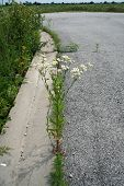 Постер, плакат: Oxeye Daisy in a Pavement Crack