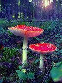 picture of witch-doctor  - two red poison mushrooms in dark wood - JPG