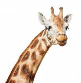 pic of funny animals  - Giraffe head sly winking put out its tongue look isolated on white background - JPG