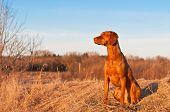 stock photo of vizsla  - A portrait of a sitting Vizsla dog in a field the spring - JPG