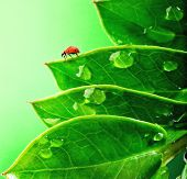 Ladybug on a very fresh green leaves