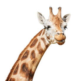 image of funny animals  - Giraffe head sly winking put out its tongue look isolated on white background - JPG