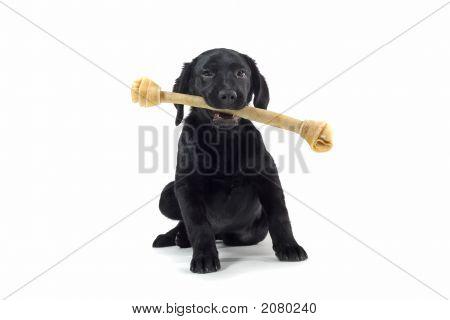Perro perdiguero de Labrador negro jugando