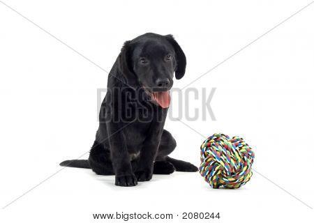 Black Labrador Retriever And His Toy