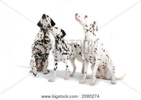 Adorable Dalmatians Sitting Down