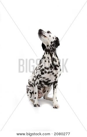 Adorable Dalmatian Sitting Down