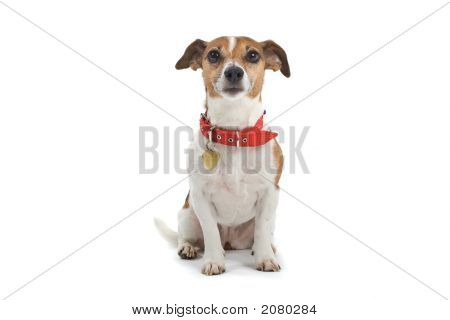 Jack Russell'S Face Expression